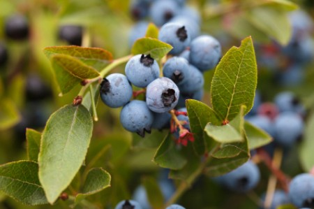 Blueberries growing on a bush.