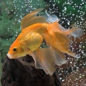Fancy goldfish swimming in a tank.