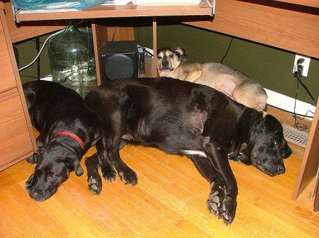 Three large dogs sleeping together on wood floor