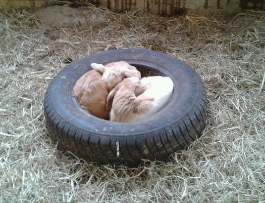 2 kid goats curled up in tire