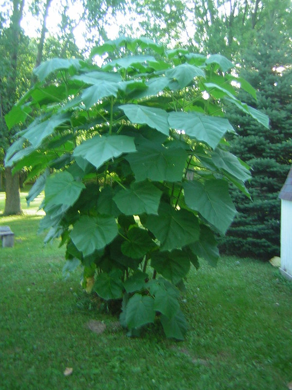 View of plant itself, large lobed leaves, overall plant shape is roughly cone shaped.