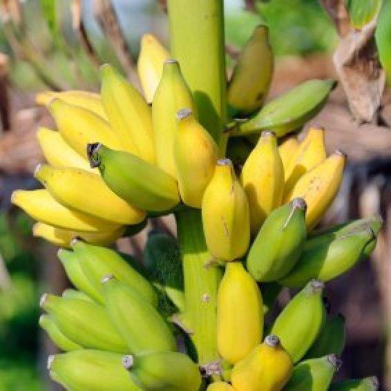Growing Bananas Thriftyfun