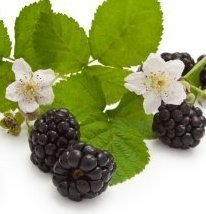 Blackberries with two flowers and leaves.