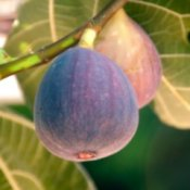 Two ripe figs hanging on branch.