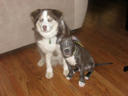 Adult Australian Shepherd and Pit puppy.