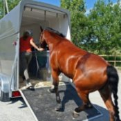 Horse walking up ramp into trailer.