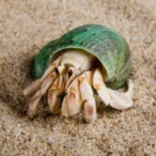 Haermit crab with a green shell crawling on sand.