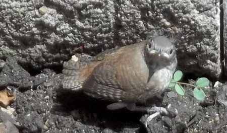 Baby house wren on ground looking at camera