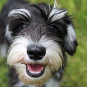 Schnauzer with its mouth open.