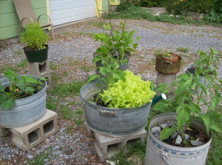 Several galvanized tubs with vegetables planted in them along gravel driveway