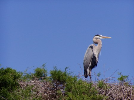 Great Blue Heron with Blue Sky Background
