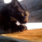 Black and brown cat scratching wood fence