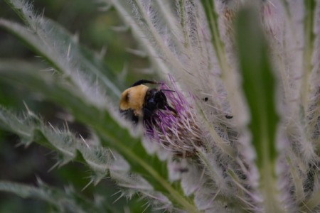 Large Bee on Cactus Flower