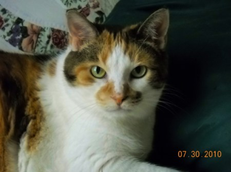Closeup of a calico cat.