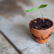 A cutting of a plant growing in a clay pot.