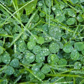 Closeup of wet grass and clover.