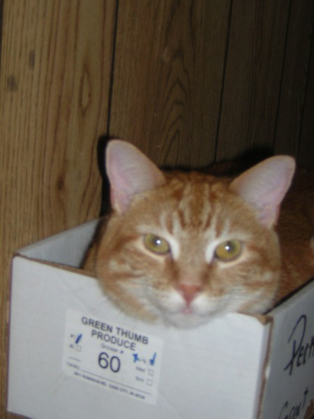 Orange Striped Cat in Box