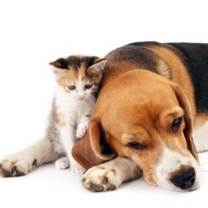 Calico kitten leaning on beagle's ear.