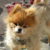 Orange and White Pomeranian