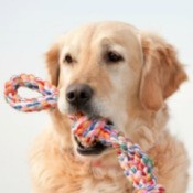 Golden with a rope toy in its mouth.