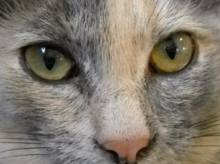 Close Crop of Chloe the Cat's Eyes and Nose