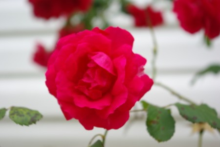 Closeup of Red Rose with White House Siding in the Background