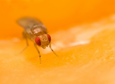 Getting Rid of Fruit Flies, Fruit Fly on Apple