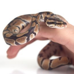 Caring For a Pet Snake, Snake on a person's hand.