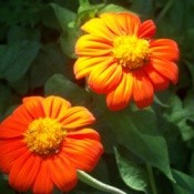 Red and Orange Mexican Sunflowers