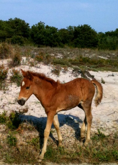 Baby pony walking on beach at Assateague Island