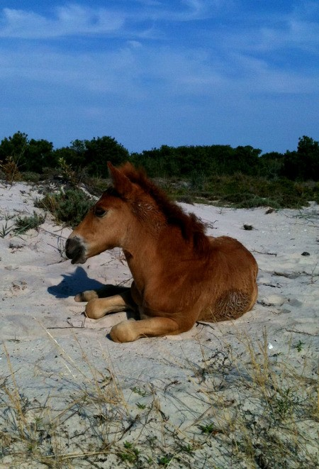 Baby pony laying on the beach.