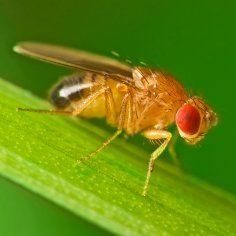 Upclose photo of a fruit fly.