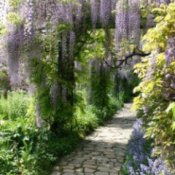 Flat stone path through flowering lavender wisteria
