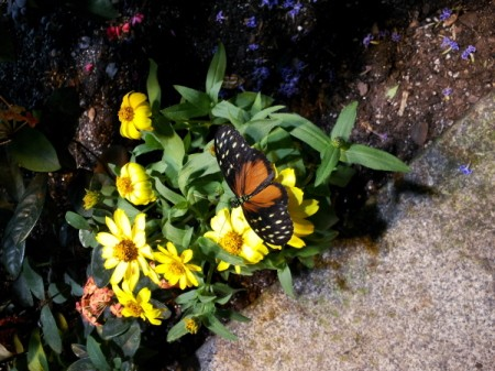 Orange and Black Butterfly on Yellow Daiseys