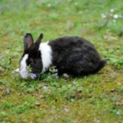 Black and white rabbit eating grass.