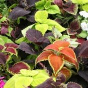 How to Grow Coleus