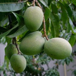 how to grow mango fruit tree from seed