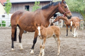 Mare and Foal in a Corral
