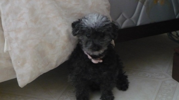 Sophie the Toy Poodle Sitting on Floor by Bed