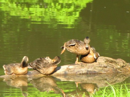 Ducks on a Log at East Lynn Lake, WV