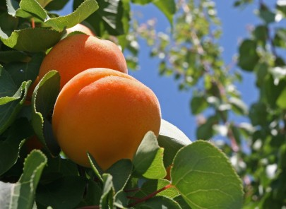 Peaches Growing on a Tree with Blue Sky in Background