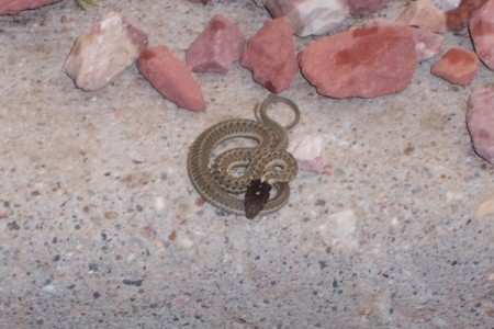 A snake coiled up on the ground.