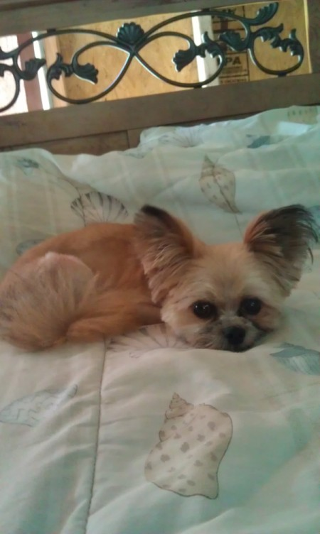 George, Pomeranian Shih Tzu, Laying on bed