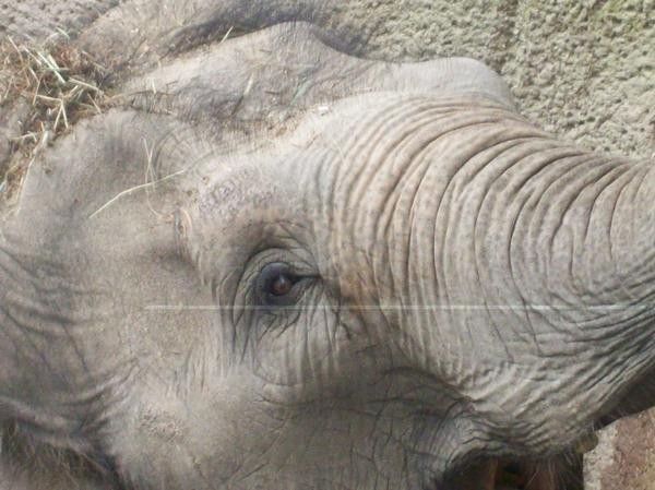 Close Up of Elephant at the Zoo