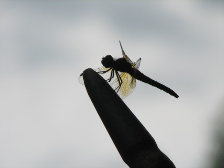 Silhouetted Dragonfly on Flag Pole