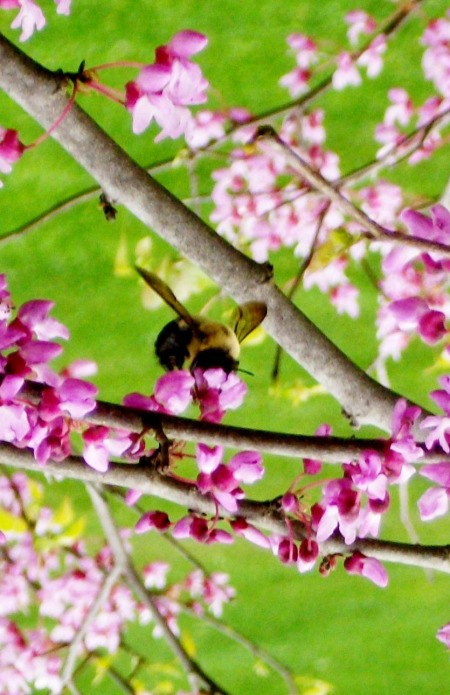 Bumblebee on Pink Flowers