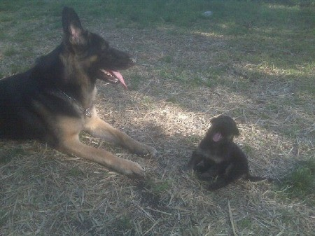 Loki the German Shepherd Laying Down Near a Puppy
