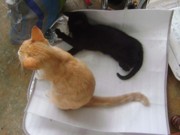 Orange kitten and black kitten on auto sun shield