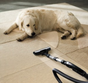 Dog laying on beige carpet next to a vacuum