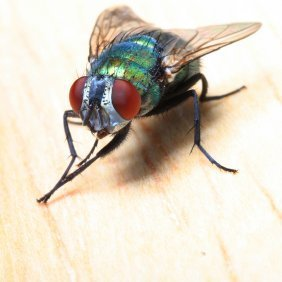 Closeup of green bodied house fly.